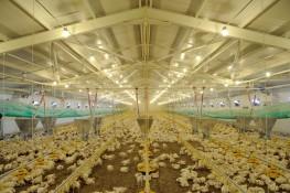 Monitoring odorów w odniesieniu do intensywnego chowu drobiu lub świń.